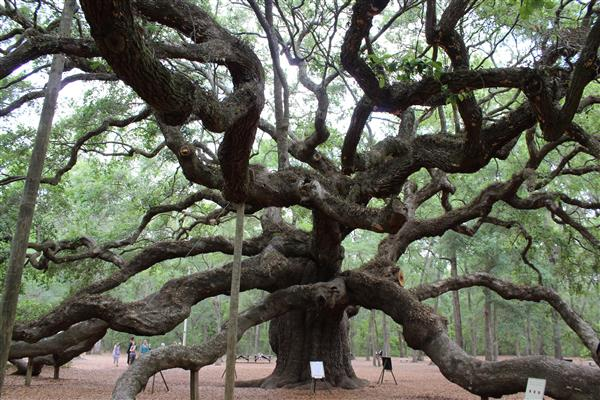 Fun things to do in Charleston : Angel Oak Tree on Johns Island, SC.